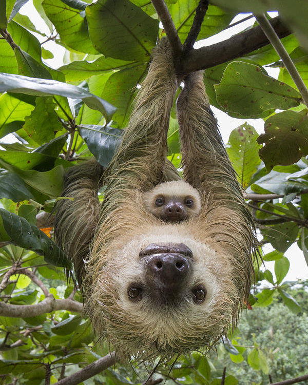 5-hoffmanns-two-toed-sloth-and-old-baby-suzi-eszterhas